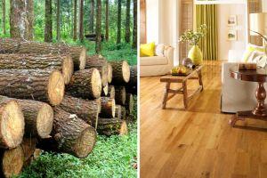 Gỗ tràm là gỗ gì ? Sàn gỗ tràm bông vàng có mấy loại ?